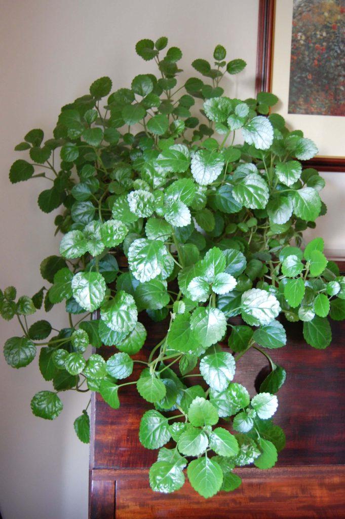 Verzorging van de swedish ivy is makkelijk