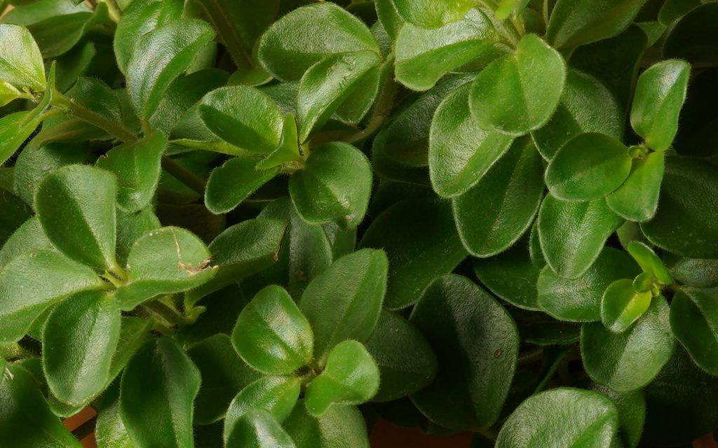 Peperomia Rotundifolia stekken