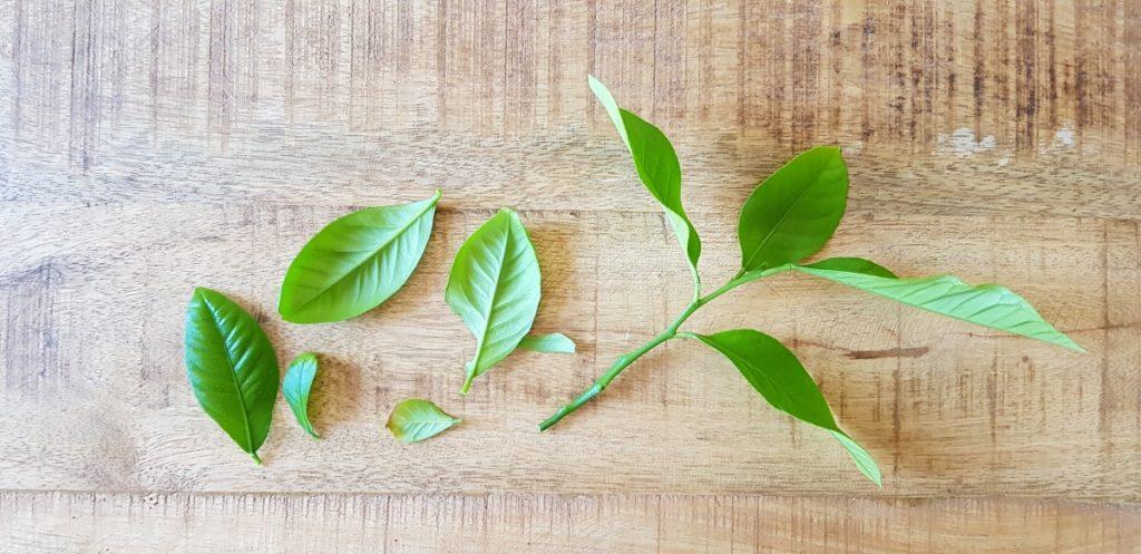 citroenplant stekken stap 3