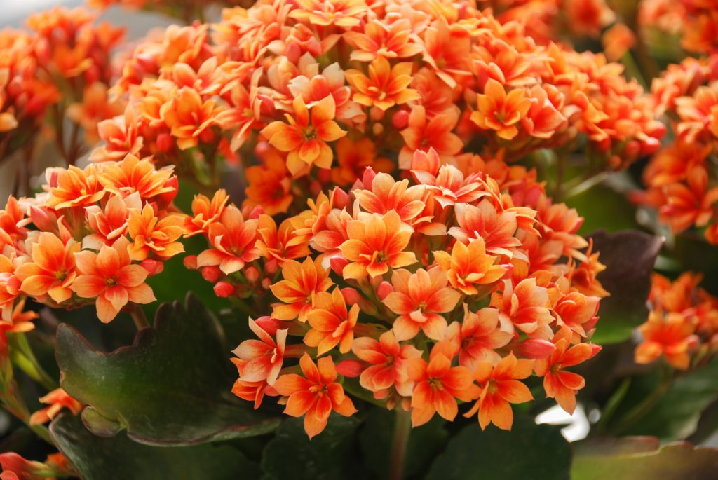 Kalanchoë is een giftige kamerplant