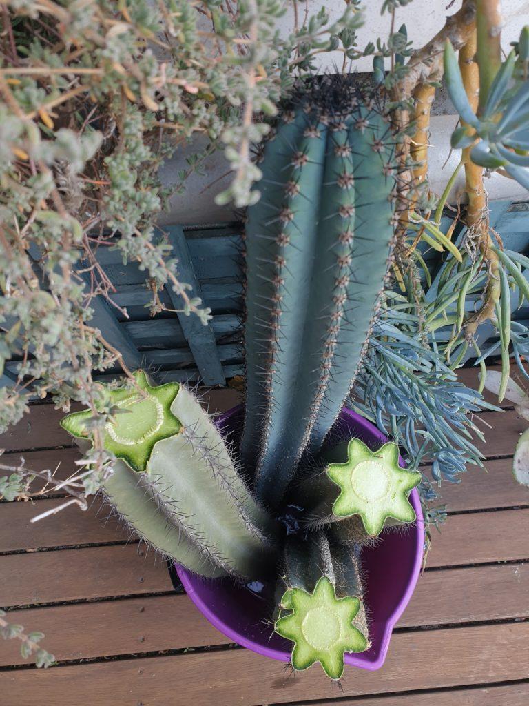 Trichocereus cactus stekken