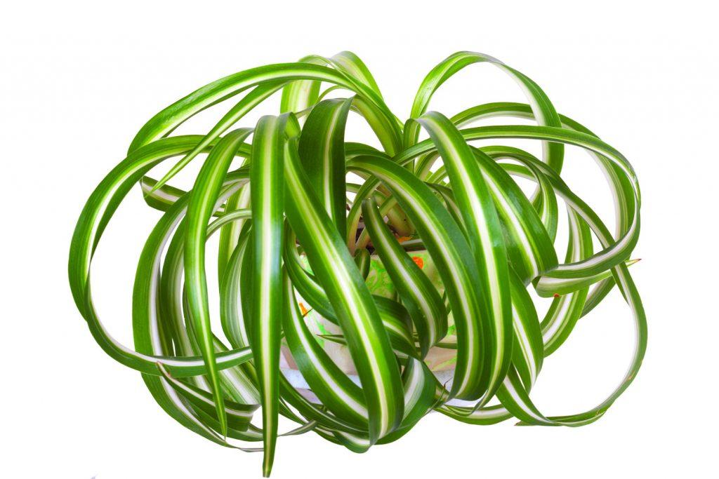 chlorophytum bonnie
