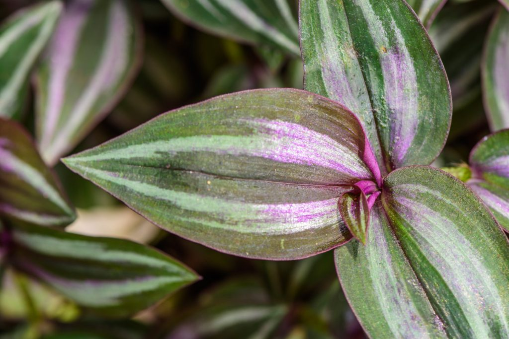 close up blad tradescantia zebrina