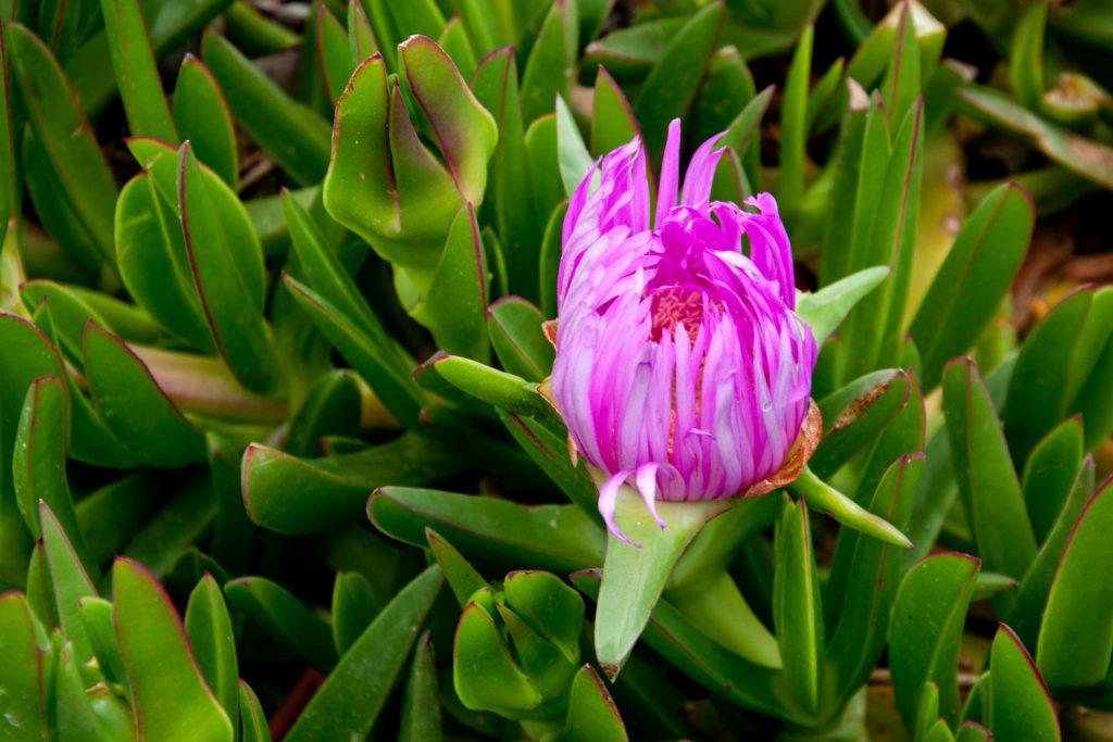 vetplant roze bloem