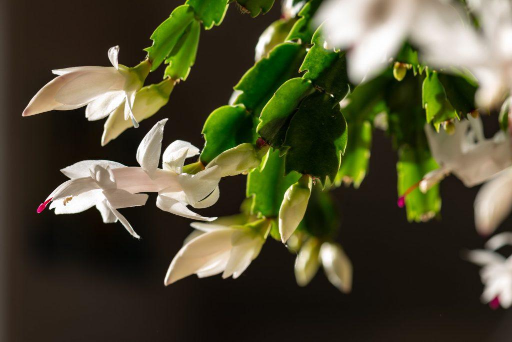 soorten vetplanten met bloemen wit