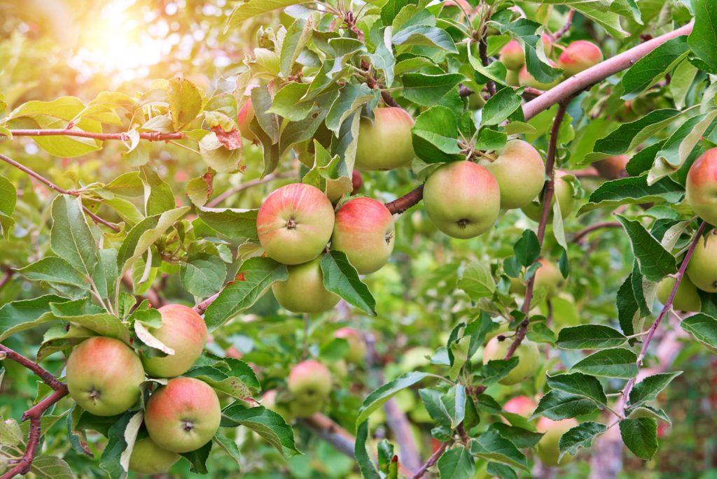 wanneer appelboom snoeien