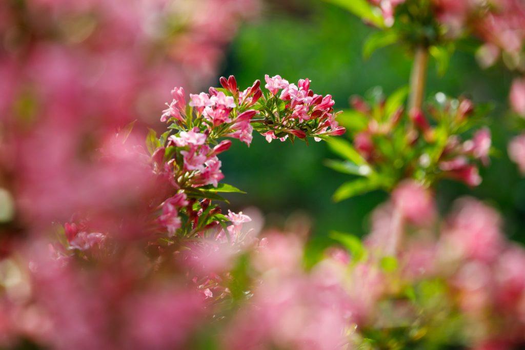 snoeien van de weigelia doe je voor de bloemen
