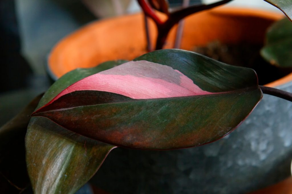 Philodendron Pink Princess blad