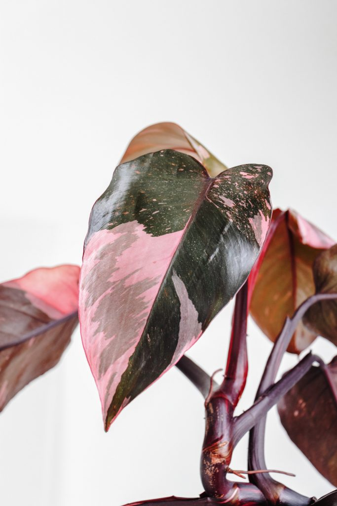 Philodendron Pink Princess roze bladeren