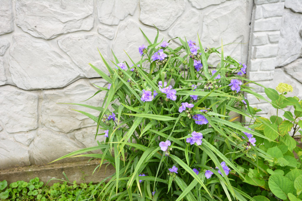 tradescantia inheems