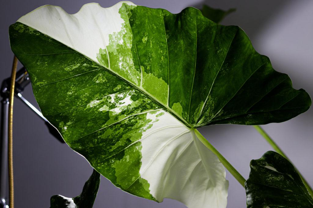 alocasia soorten variegated