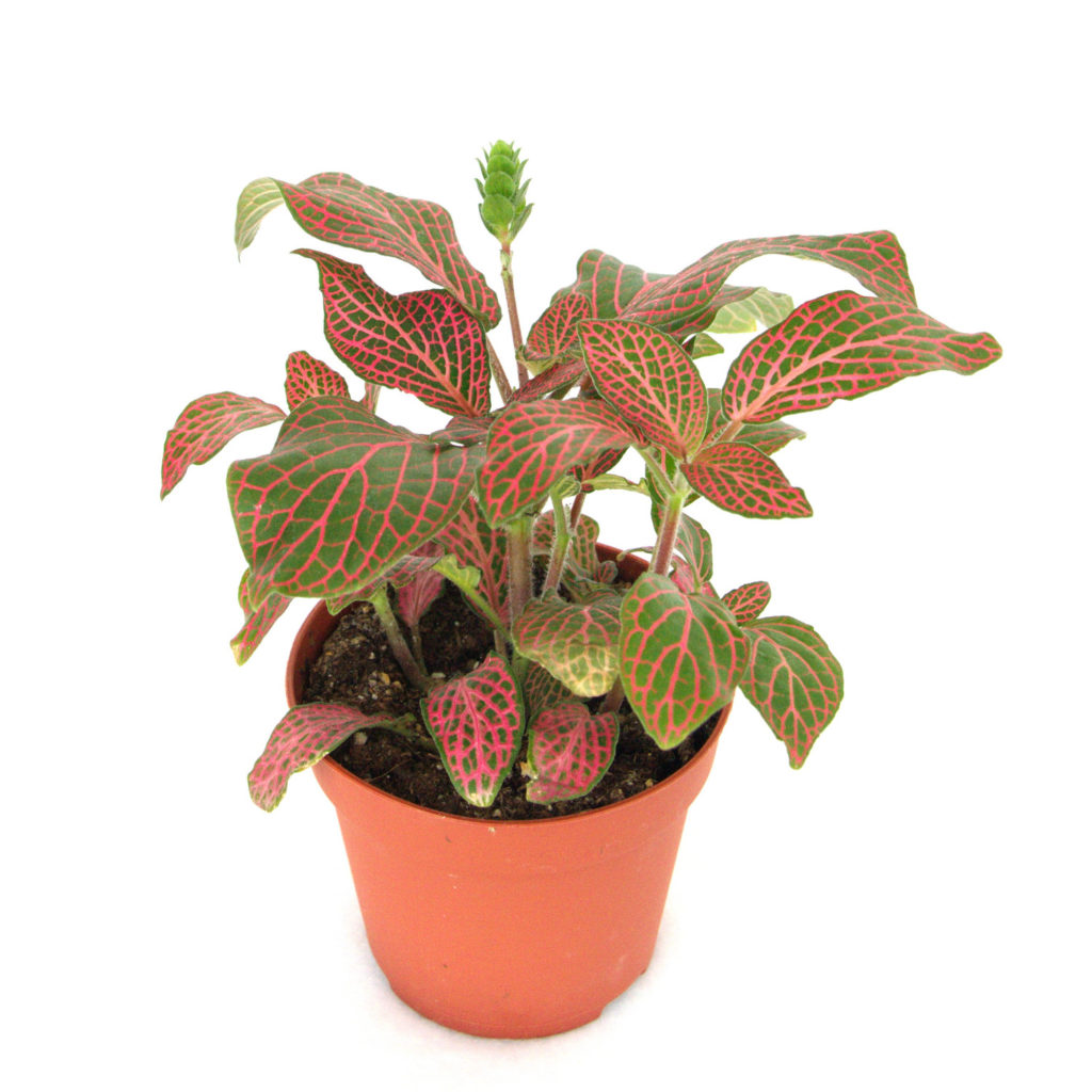 fittonia skeleton