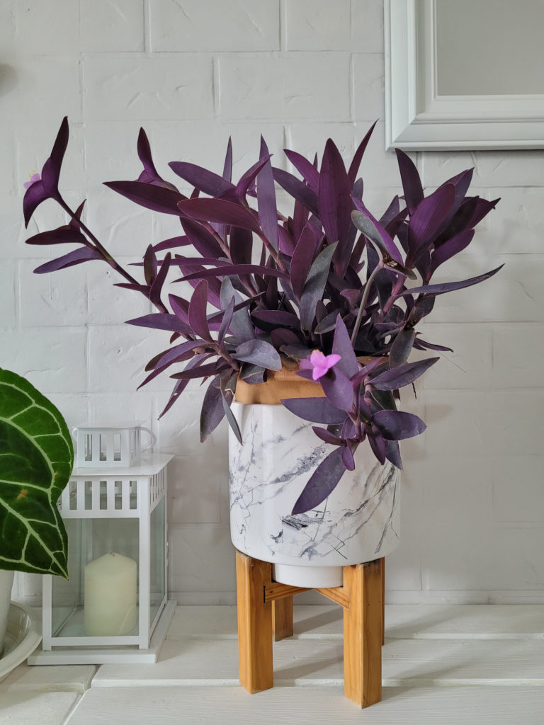 paarse tradescantia in pot