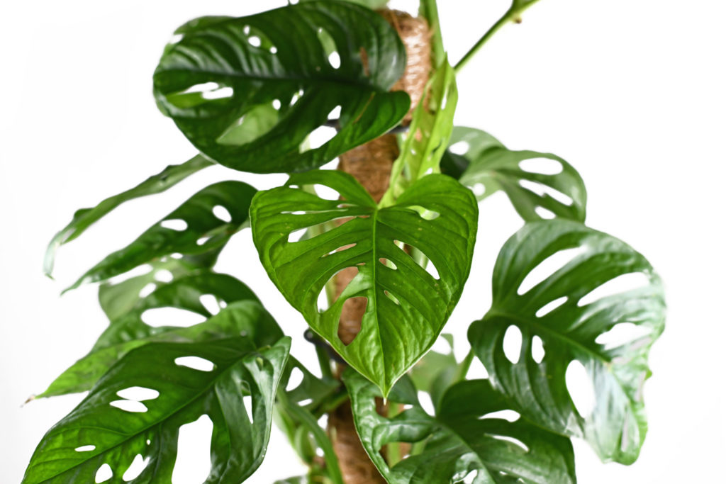 Monstera opbinden