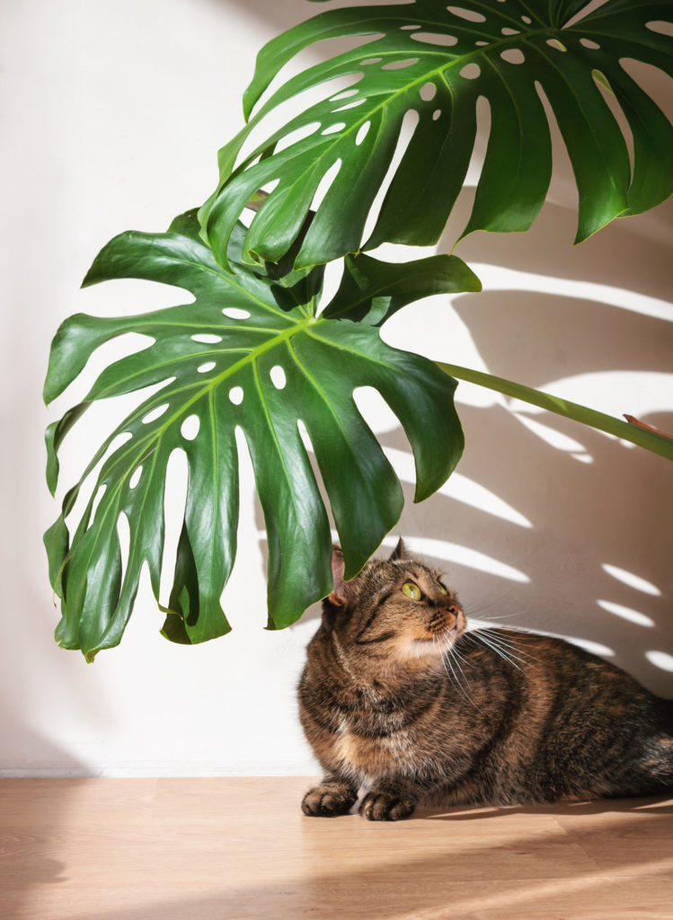 is monstera giftig voor katten