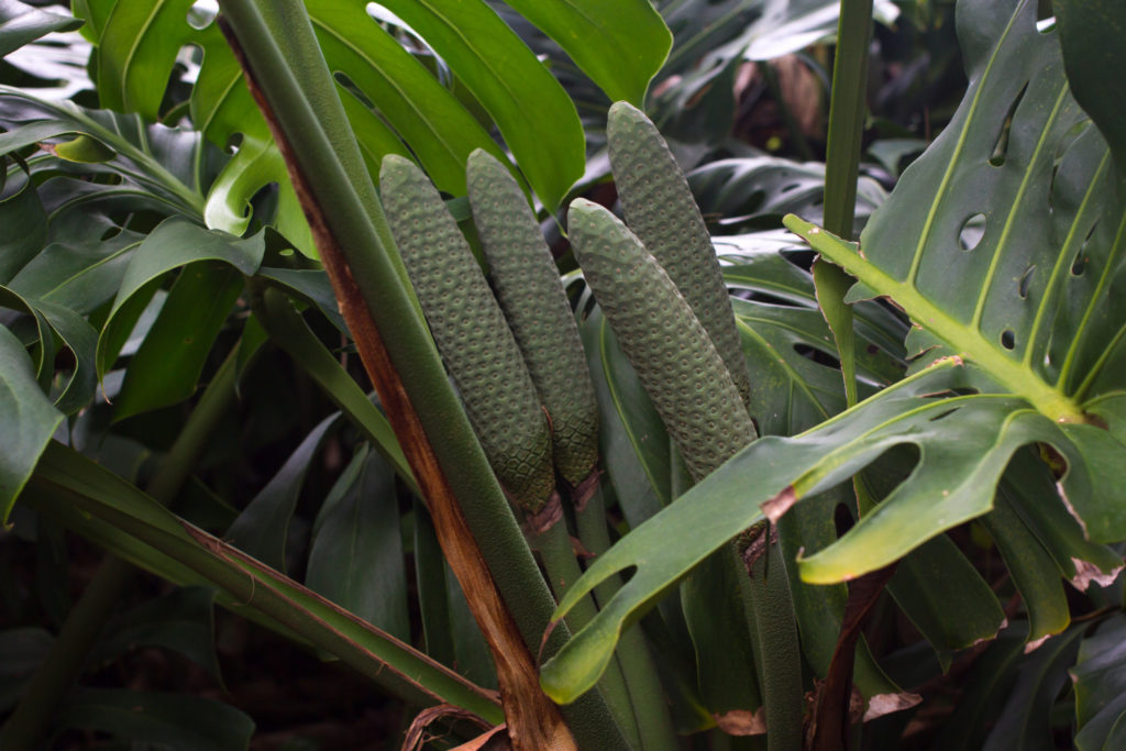 monstera fruit aan de plant