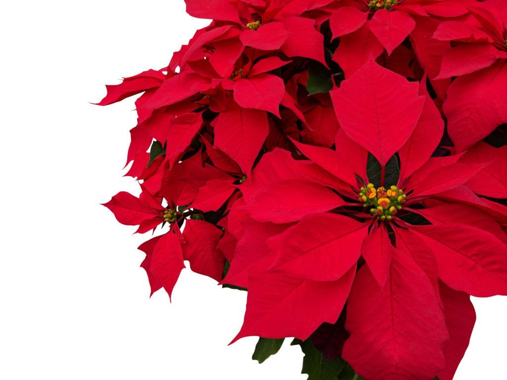 overhouden kerststerren plant