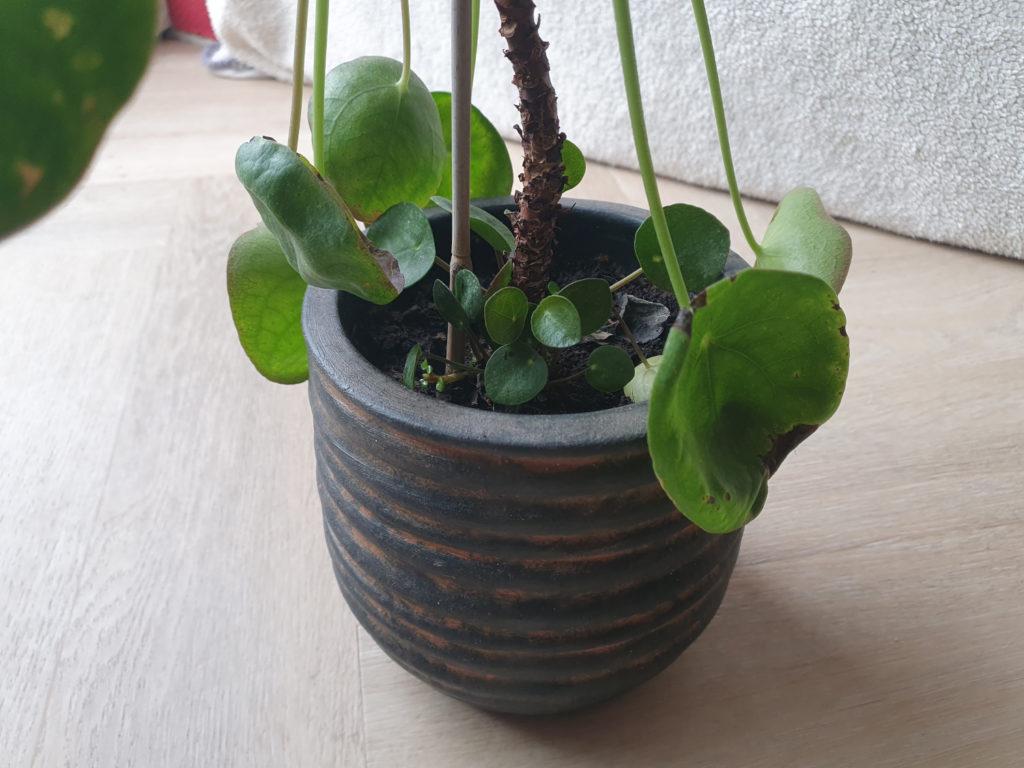 voorbereiding Pannenkoekenplant toppen