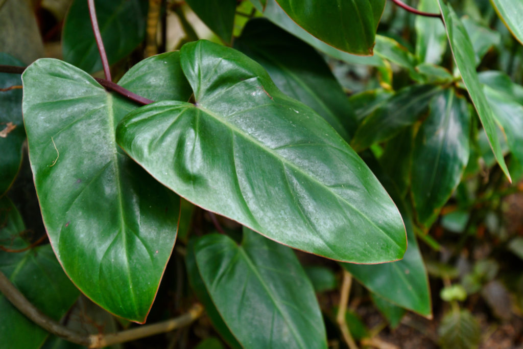 Philodendron Red Emerald blad
