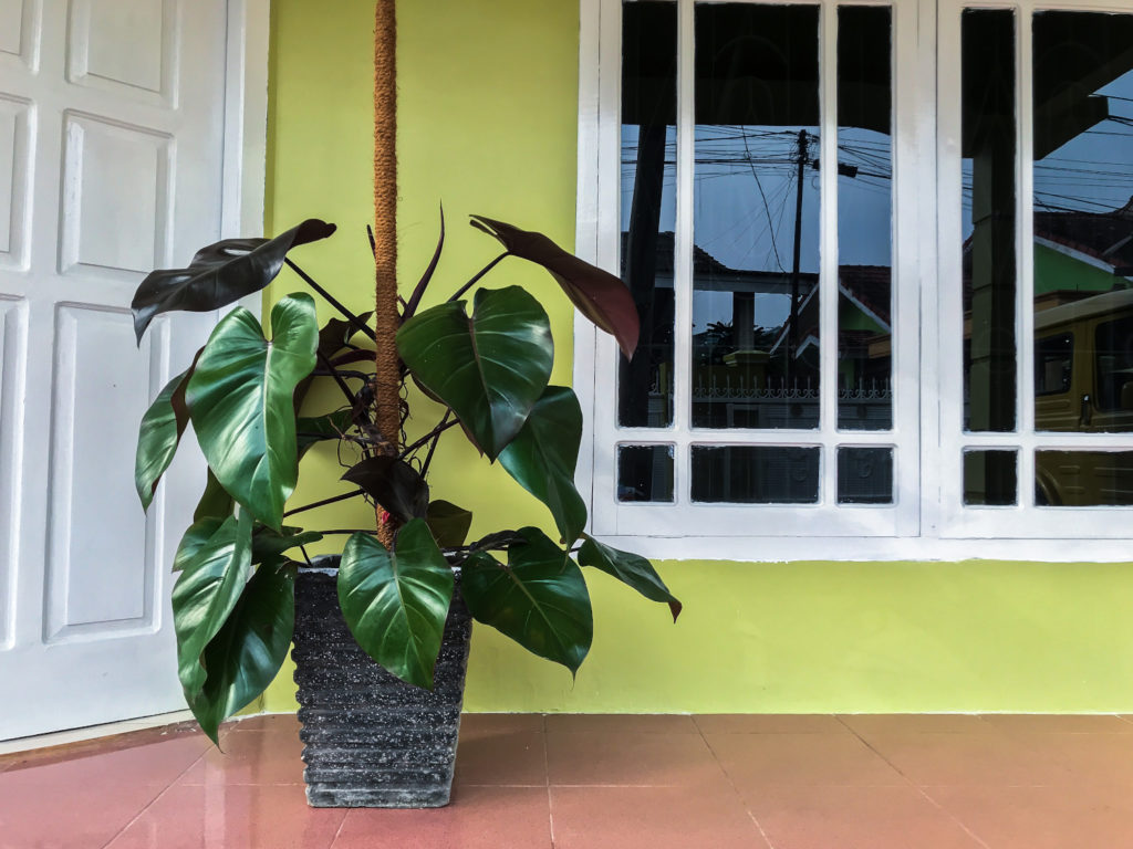 grote Philodendron Red Emerald