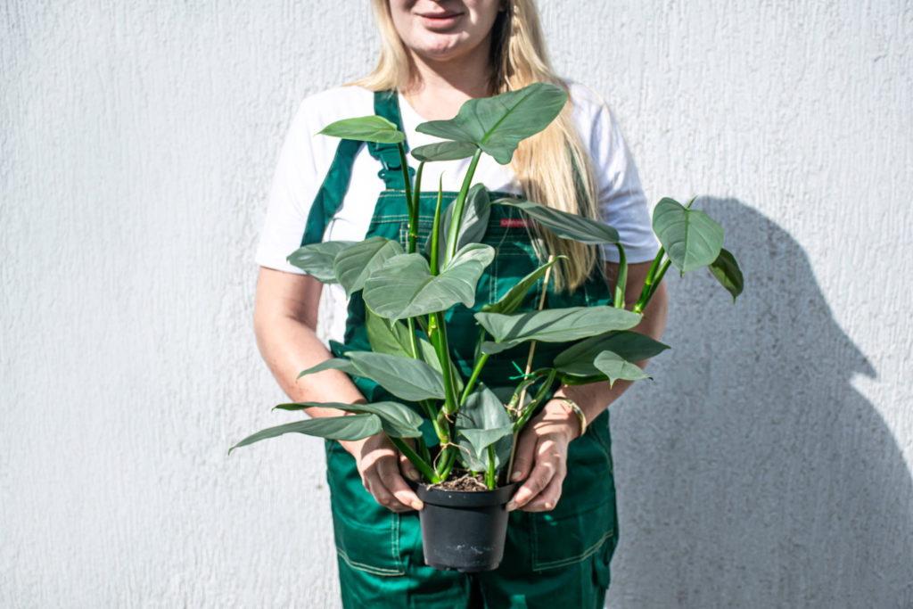 Philodendron Hastatum verzorging